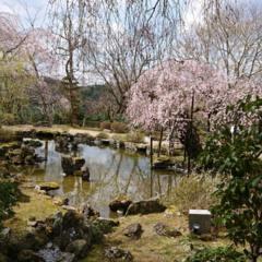 今年の桜の画像