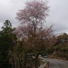 最古の桜(1)の画像