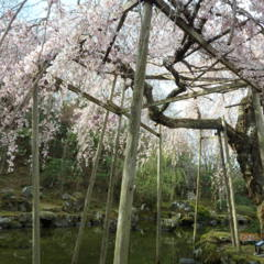 最古の桜(2)