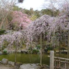 お庭のしだれ桜の画像