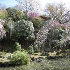 花吹雪 花筏 楽しみ方は花が散っても色々ありますの画像