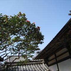 腰蓑椿咲き始めました