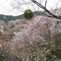 桜 桃源郷のようですの画像